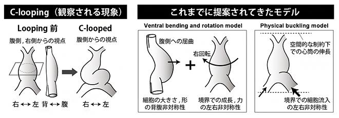 心筒のCルーピングとこれまでに提案されてきたモデルの図
