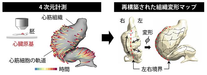 心臓発生過程の4D計測と組織変形動態解析の図