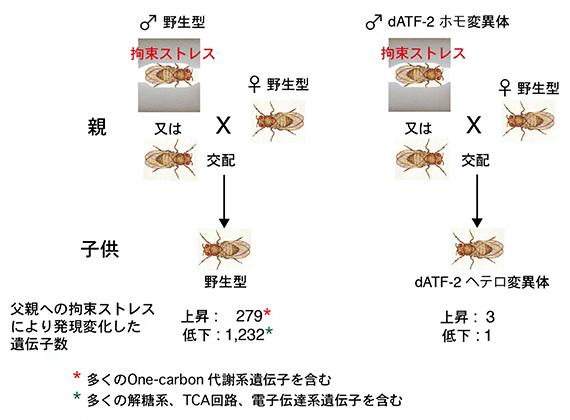 父親への拘束ストレスによる子供の遺伝子発現の変化の図