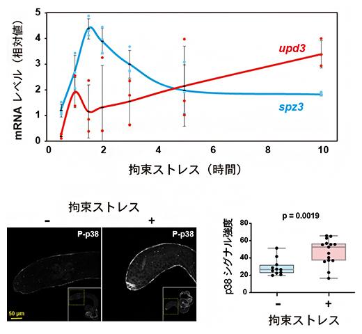 拘束ストレスによるupd3の誘導とp38の活性化の図