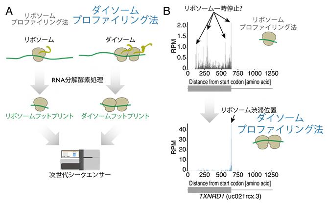ダイソームプロファイリング法(A)による、リボソーム渋滞位置の高精度同定(B)の図
