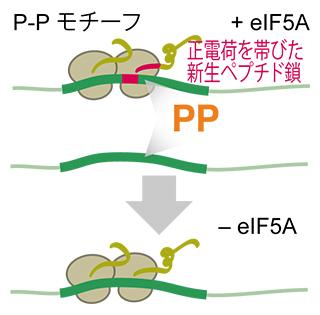 翻訳伸長因子eIF5Aによるリボソーム渋滞を防ぐメカニズムの図