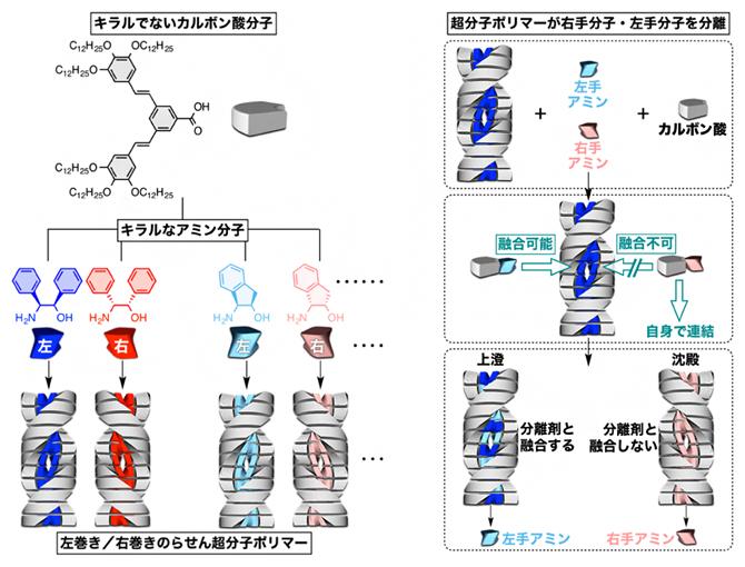 らせん状の超分子分子ポリマー(左)と左手分子と右手分子の分離への応用(右)の図