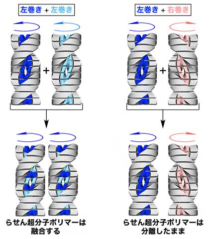 らせん超分子ポリマーの巻き方向と融合性との関係の図