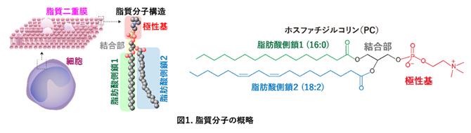 脂質分子の概略の図