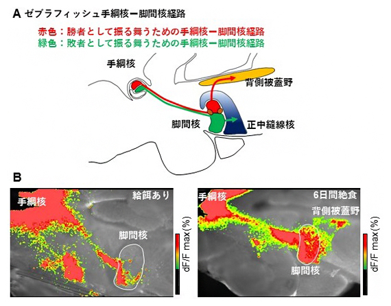 絶食による手綱核-脚間核経路の活動変化の図