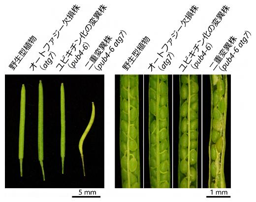 シロイヌナズナの葉緑体における二大分解系の変異株のさやの図