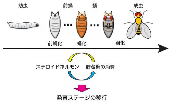 ショウジョウハエの発育ステージの進行に必要なエネルギー代謝調節の仕組みの図