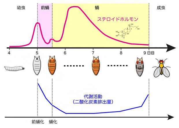 ショウジョウバエの幼虫から成虫に至る間のステロイドホルモンと代謝活動の変化の図