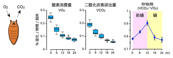 蛹化におけるエネルギー代謝の変化の図