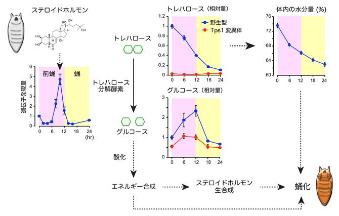 トレハロースの分解により引き起こされる蛹化の仕組みの図