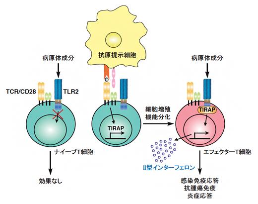 T細胞の病原体センサーToll様受容体2(TLR2)がT細胞を活性化するメカニズムの図