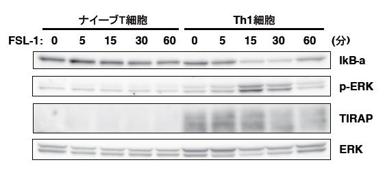 ナイーブT細胞とエフェクターTh1細胞におけるTIRAPの発現の図