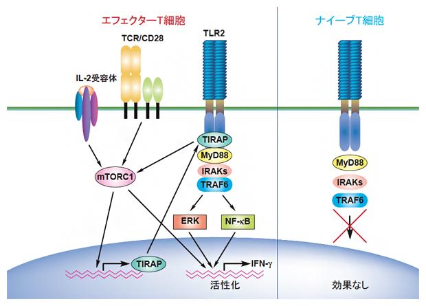TIRAPの発現誘導とTIRAPによるTLR2を介するエフェクターT細胞活性化の誘導の図
