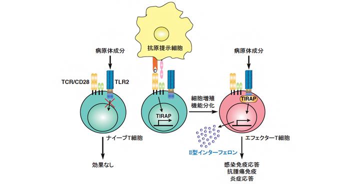 病原体成分がT細胞を活性化するメカニズムを解明 | 理化学研究所