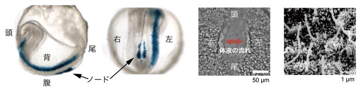 マウス初期胚の遺伝子発現(青色)の左右非対称性を決定するノードと繊毛の図
