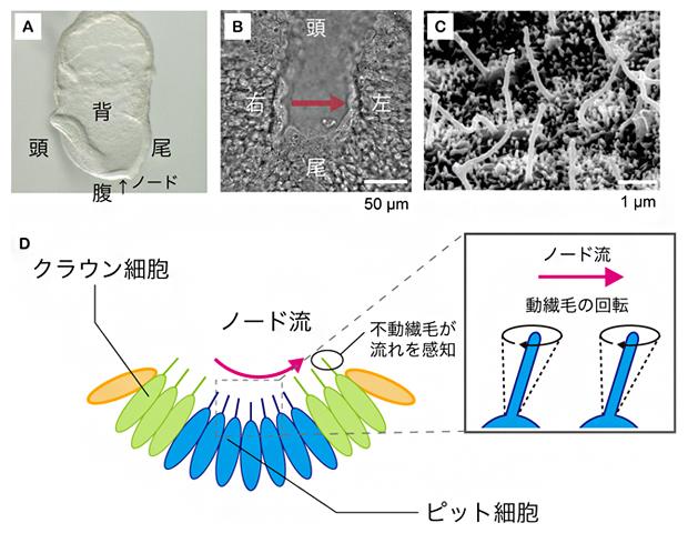 マウス初期胚におけるノードの構造とノード流発生の仕組みの図