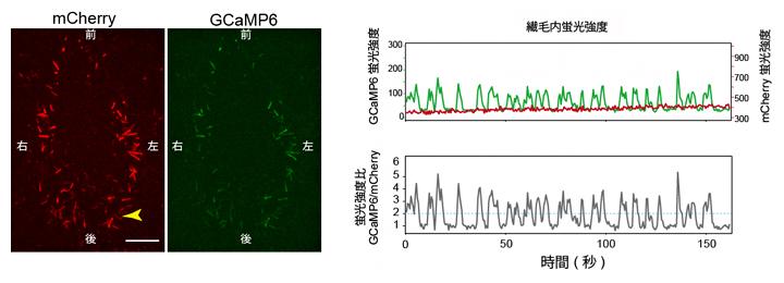 ノード不動繊毛での蛍光タンパク質発現による、細胞内カルシウム濃度変化の可視化の図