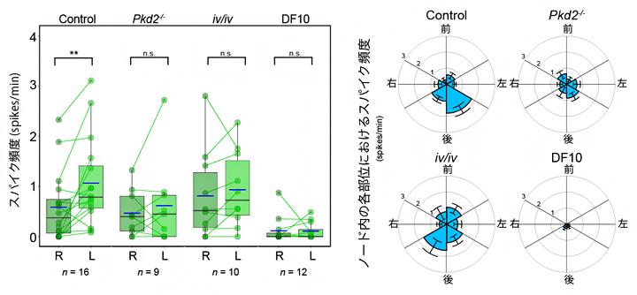 左右で異なる繊毛内カルシウムの変化頻度の図