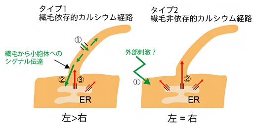 二つのタイプの繊毛内カルシウム経路の図