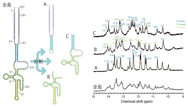 SINE B2の断片化の模式図と各断片のNMRスペクトルの図