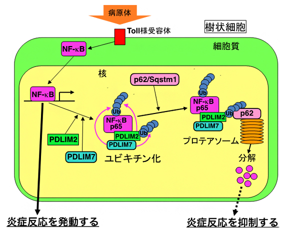 PDLIM7、PDLIM2およびp62/Sqstm1による炎症反応制御機構の図