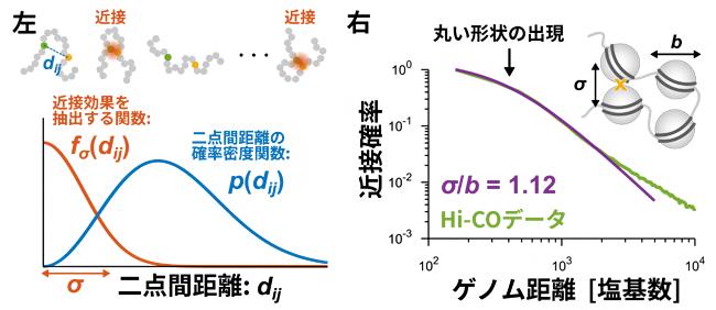Hi-C実験の高分子モデル化とHi-COデータ解析の図