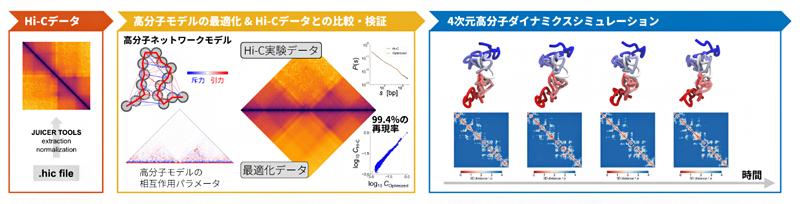 Hi-Cデータを高分子モデルの4次元動態に変換するPHi-C法の流れの図