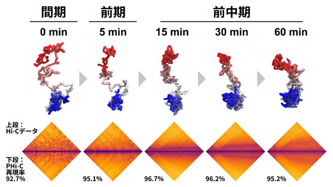 間期から前中期におけるニワトリBリンパ細胞のHi-Cデータ解析の図