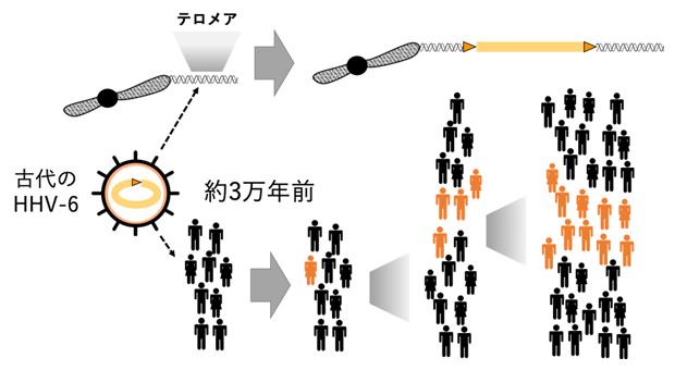 ヒトヘルペスウイルス6(HHV-6)の内在化過程の図