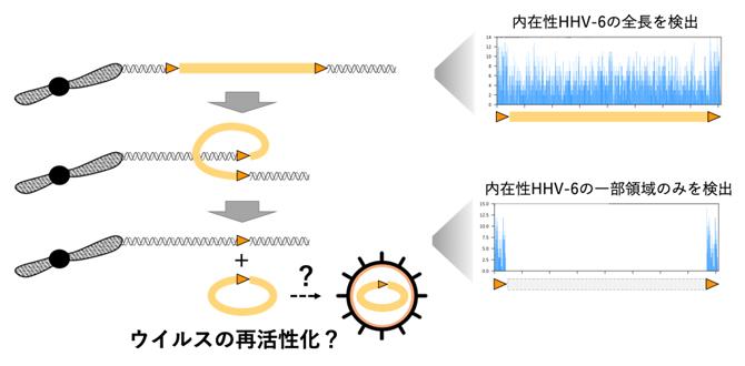 HHV-6再活性化の概念図の画像