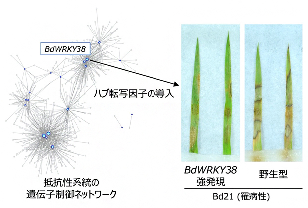 BdWRKY38遺伝子を強発現する罹病性植物の紋枯病抵抗性の図