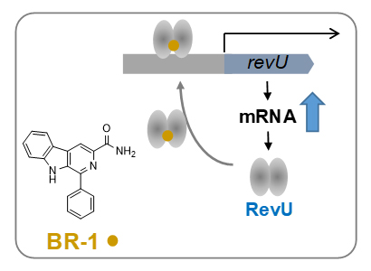 推定されるLuxRファミリー転写因子(RevU)の発現増強機構の図