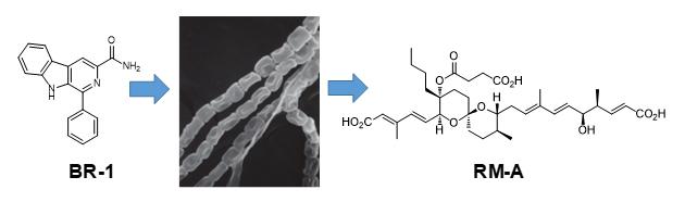 BR-1添加による放線菌二次代謝物RM-Aの生産増強の図