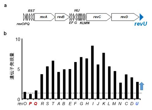 BR-1によるRM-A生合成遺伝子クラスターの発現増強の図