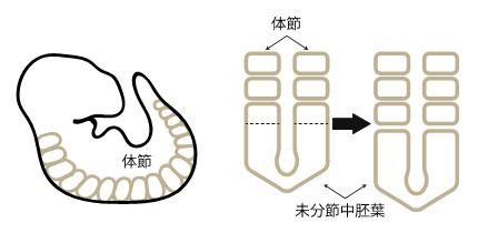 脊椎動物胚の体節形成の図