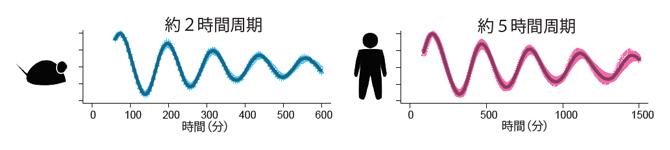 マウスとヒトの体節時計の図