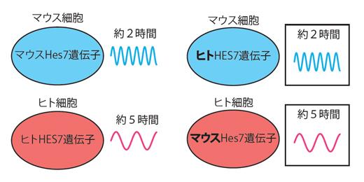 ヒトの体節時計遺伝子を持ったマウス細胞とマウスの体節時計遺伝子を持ったヒト細胞の図