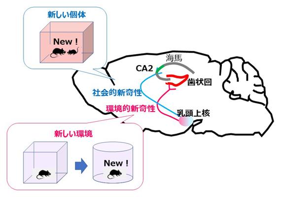 二つの異なるタイプの新しさ情報(新奇性)を伝える二つの回路の図