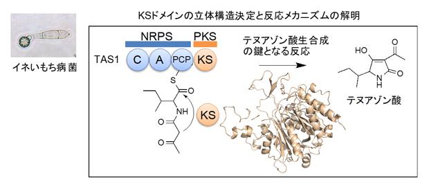 イネいもち病菌がかび毒テヌアゾン酸を作るメカニズムの図