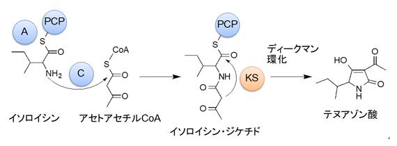 テヌアゾン酸の生合成経路の図