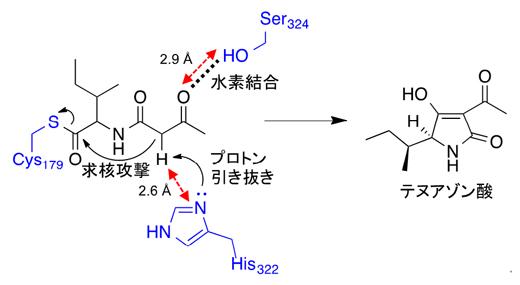 TAS1のKSドメインによる環化反応のメカニズムの図