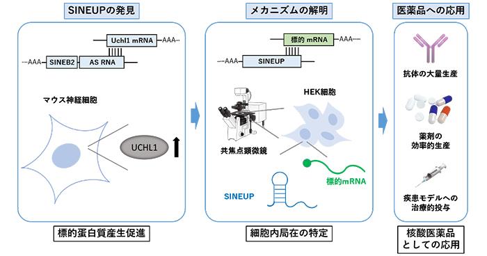 タンパク質を増やすSINEUPのメカニズムを解明 | 理化学研究所