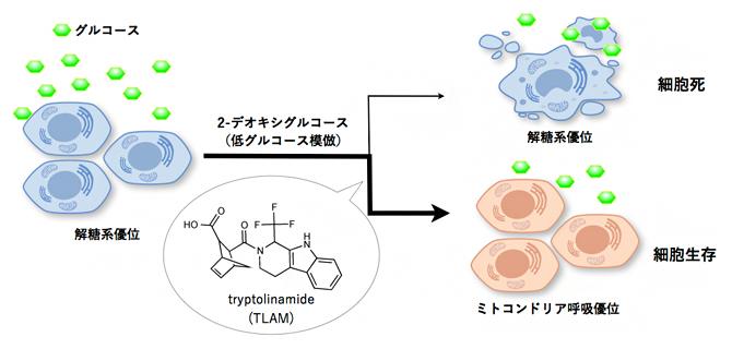 Tryptolinamide (TLAM) の発見の図