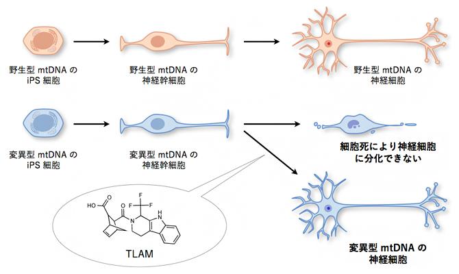 TLAM による変異 mtDNA を持った iPS 細胞の神経細胞への分化障害の回復の図