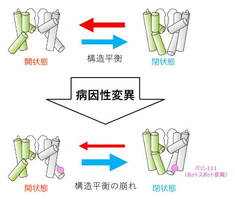 K<sup>+</sup>チャネルの病因性変異は、細胞内ゲートの構造平衡を閉状態に偏らせるの図