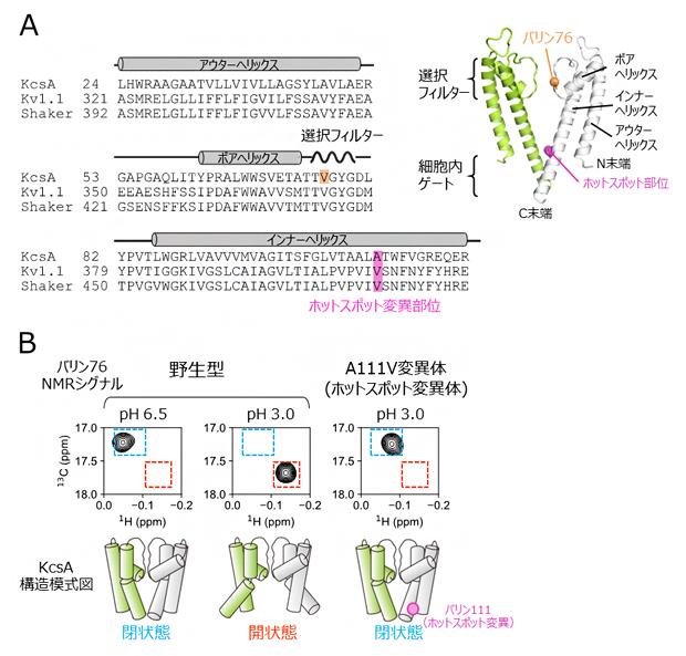 K<sup>+</sup>チャネルの構造と核磁気共鳴(NMR)解析の図