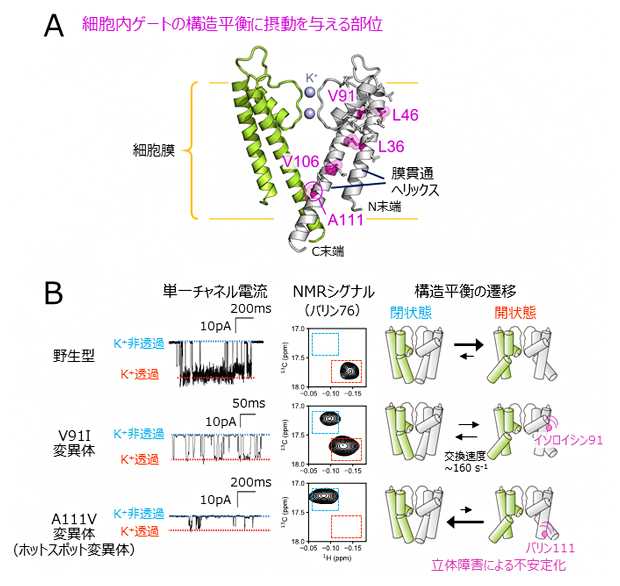 膜貫通領域の変異解析と単一チャネル電流解析の図
