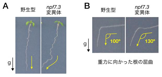 NPF7.3の変異によるシロイヌナズナ根の重力屈性の異常の図