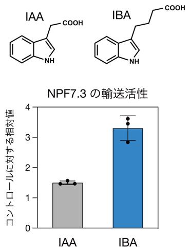 酵母細胞を用いたNPF7.3のIBA取り込み活性の図